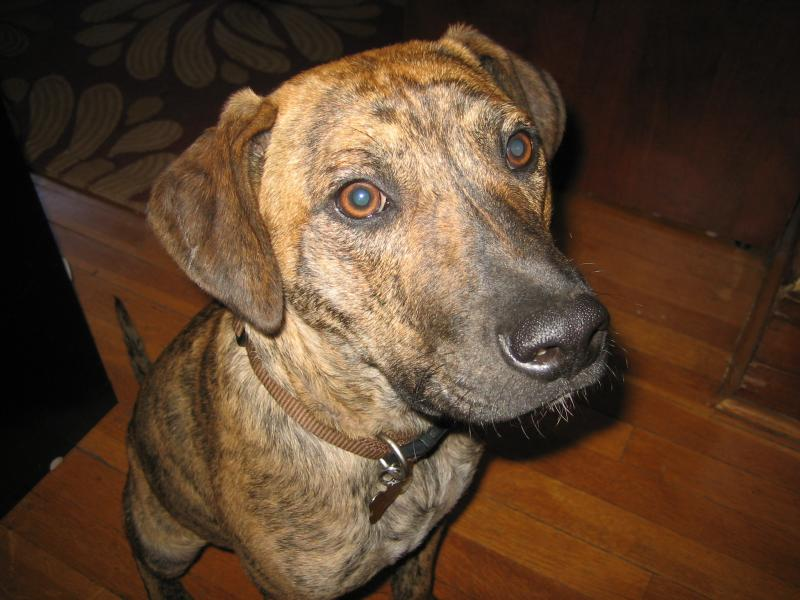 Possible Plott Hound Boxer Mix | Dog Breeds Picture